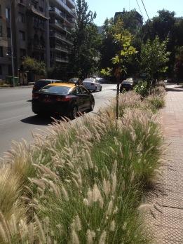 Pennisetum edged borders of Parque Forestal